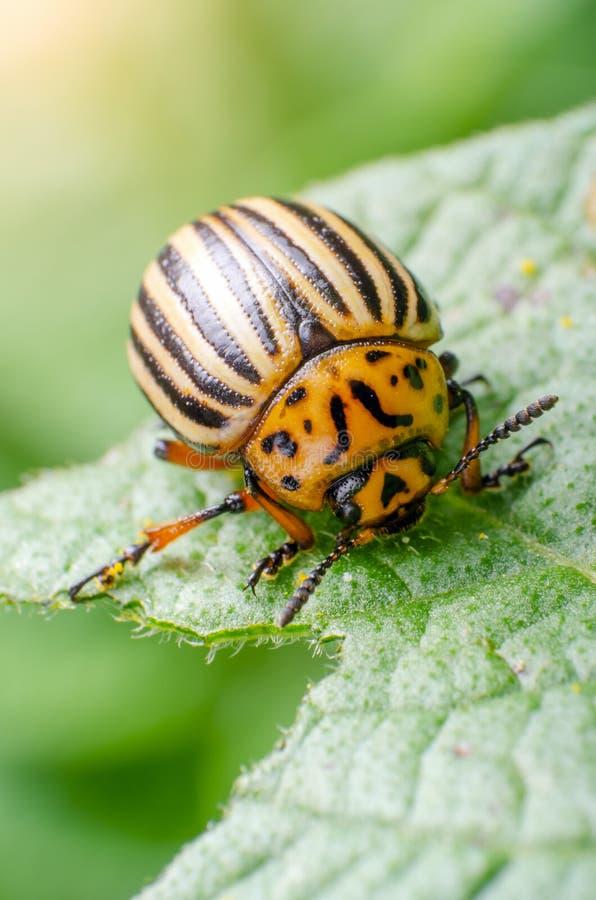 Colorado potato beetle eats green potato leaves.  stock photo
