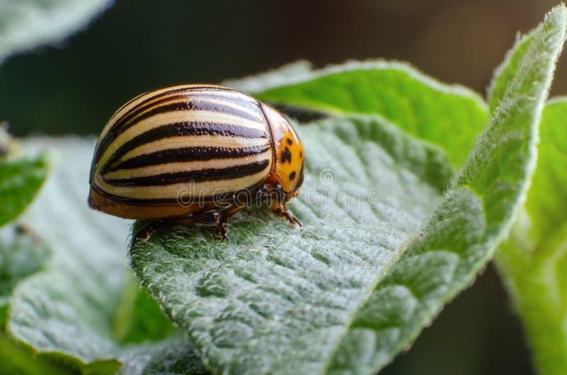 Colorado potato beetle eats green potato leaves.  royalty free stock photo