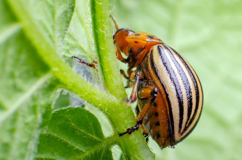 Colorado potato beetle eats green potato leaves.  royalty free stock photography