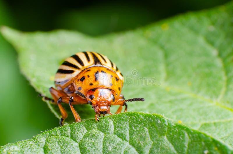 Colorado potato beetle eats green potato leaves.  royalty free stock image
