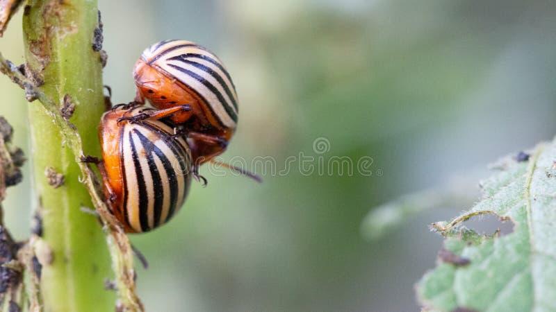 Colorado potato beetle eats green on potato leaves. Colorado potato beetle eats green potato leaves close up stock photo