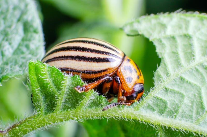 Colorado potato beetle eats green potato leaves.  stock image