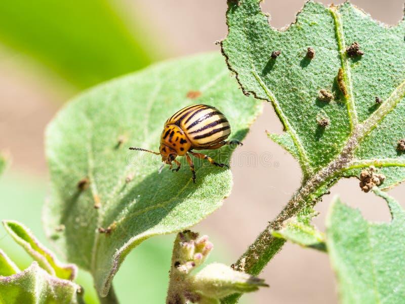 Colorado potato beetle on eggplant leaf close-up stock images