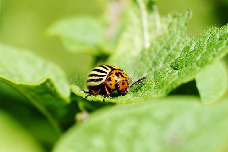 Download Colorado Potato Beetle Feeding On Leaves Royalty Free Stock Photo - Image: 25419535