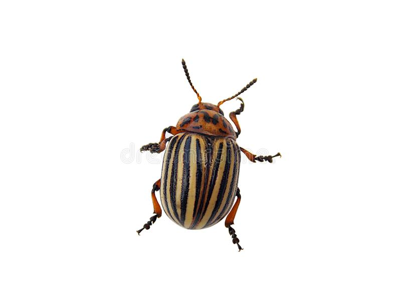 Colorado potato beetle isolated on a white background.  royalty free stock image