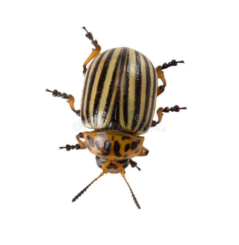 Colorado potato beetle isolated on the white background stock photography