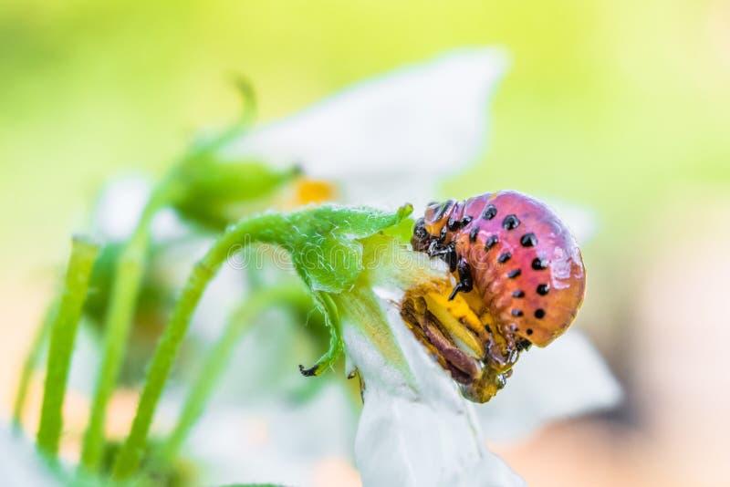 Colorado potato beetle larva eats white potato flower. Garden insect pest close-up in bright sunny day. stock photos