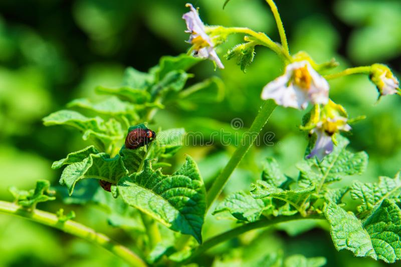 Colorado potato beetle larvae on potato leaves close-up. Pests of agricultural plants. stock image
