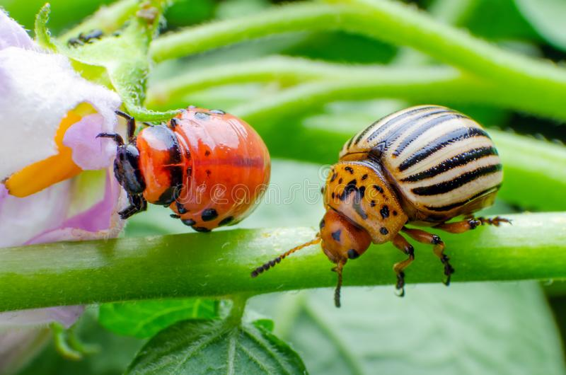 Colorado potato beetle and red larva crawling and eating potato leaves stock photos