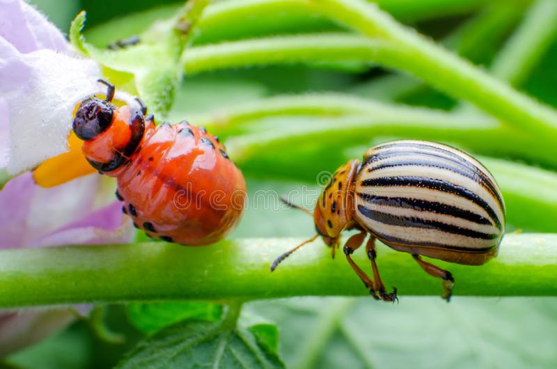 Colorado potato beetle and red larva crawling and eating potato leaves stock photography