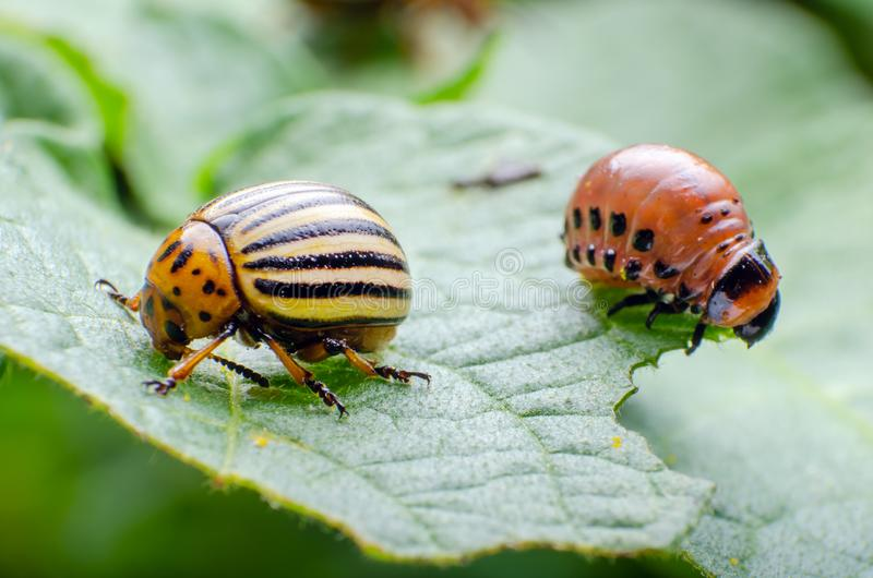 Colorado potato beetle and red larva crawling and eating potato leaves royalty free stock photo