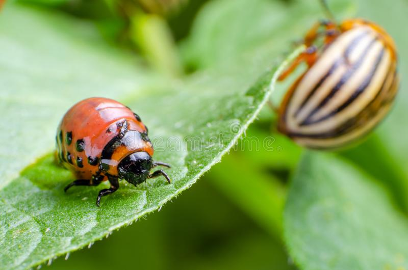 Colorado potato beetle and red larva crawling and eating potato leaves stock photo