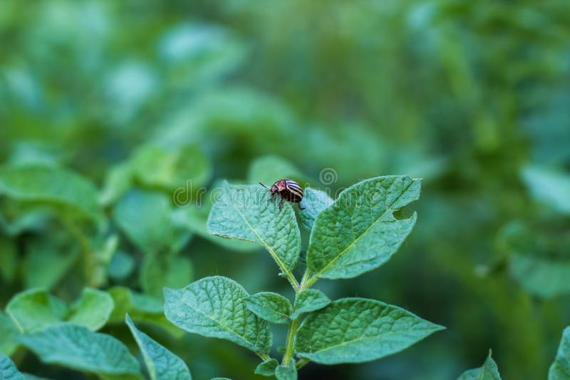 Colorado potato beetle sits on potato leaves stock image