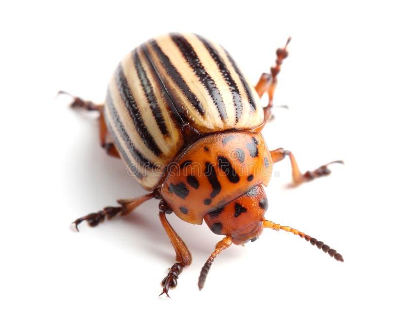 Colorado potato beetle on white stock images