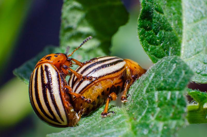 Colorado potato beetles mating on the leaves of green potatoes.  stock images