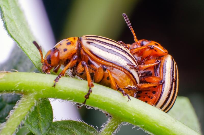 Colorado potato beetles mating on the leaves of green potatoes.  royalty free stock images