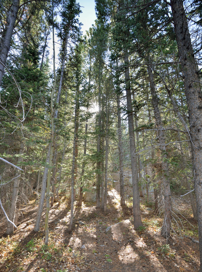 Colorado Rockies - sun in the forest. Sun filters through pine trees in the Colorado Rockies in early fall royalty free stock photos