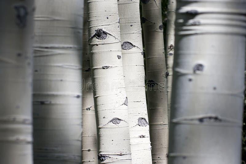 Colorado Rocky Mountain Aspen Trees Appear da avere immagini stock libere da diritti