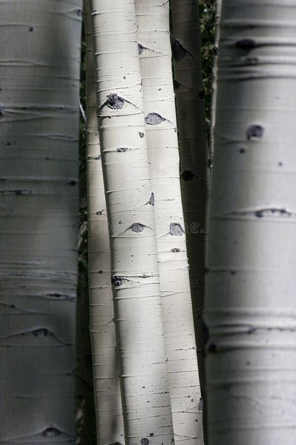 Colorado Rocky Mountain Aspen Trees Appear per avere occhi immagini stock