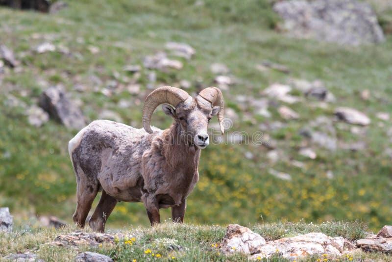 Colorado Rocky Mountain Bighorn Sheep royalty-vrije stock afbeelding