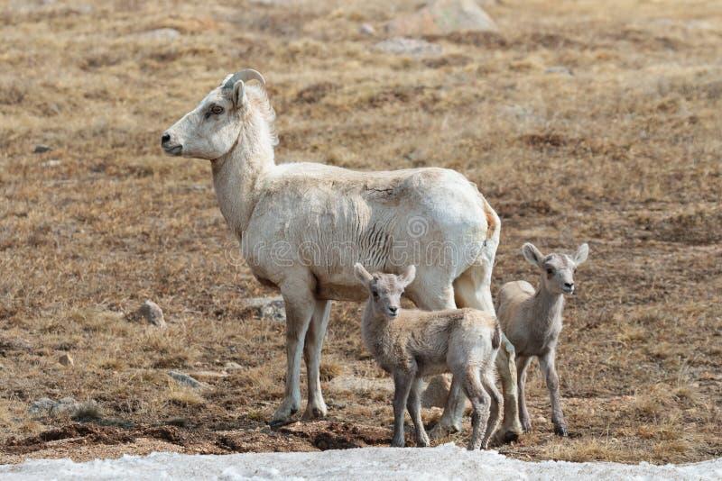 Colorado Rocky Mountain Bighorn Sheep royalty-vrije stock foto
