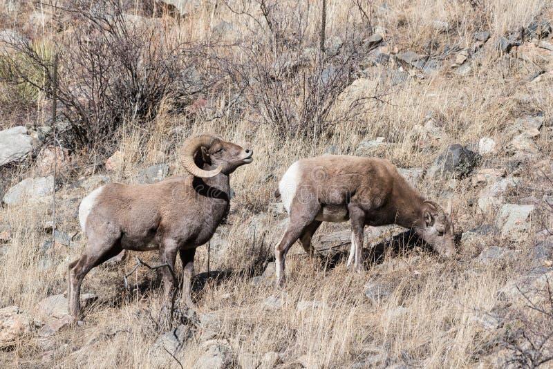 Colorado Rocky Mountain Bighorn Sheep royalty-vrije stock fotografie