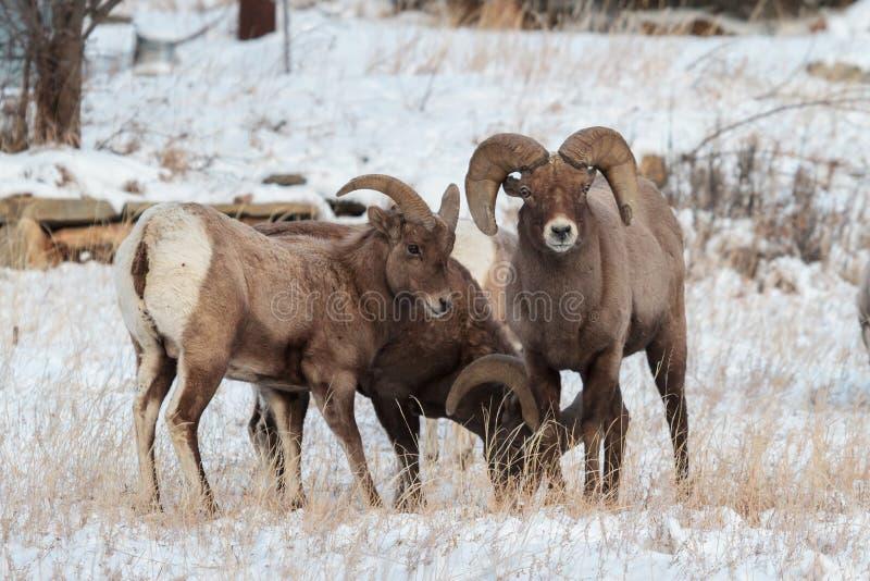 Colorado Rocky Mountain Bighorn Sheep stock afbeelding