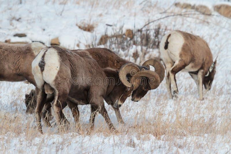 Colorado Rocky Mountain Bighorn Sheep stock afbeeldingen