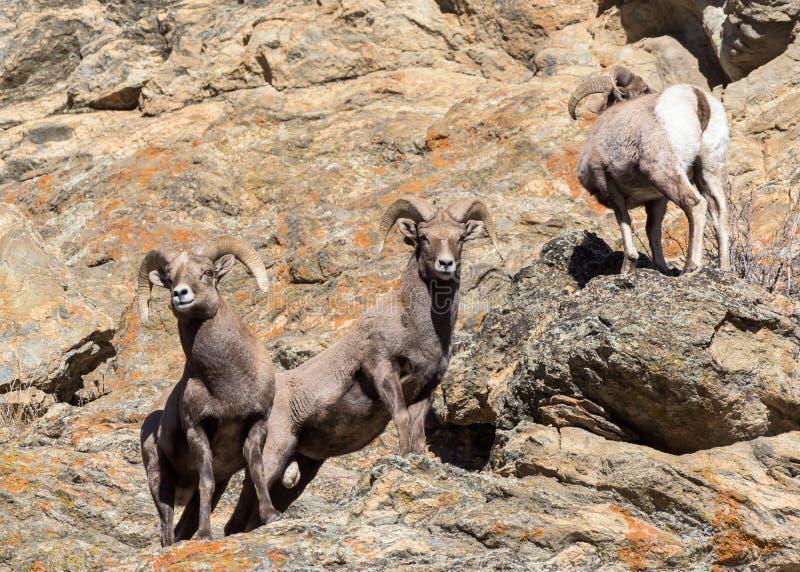 Colorado Rocky Mountain Bighorn Sheep - Band von jungen RAMs stockbilder