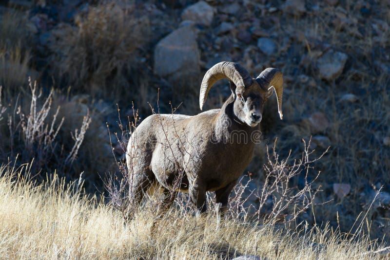 Colorado Rocky Mountain Bighorn Sheep royalty free stock images