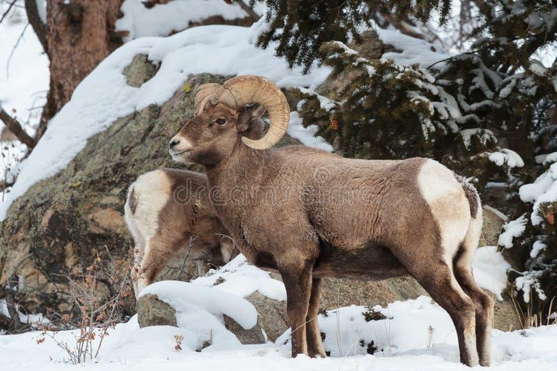 Colorado Rocky Mountain Bighorn Sheep stock images
