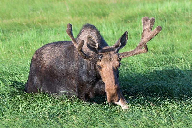 Bull Moose in Tall Grass. Shiras Moose in the Rocky Mountains of royalty free stock photos