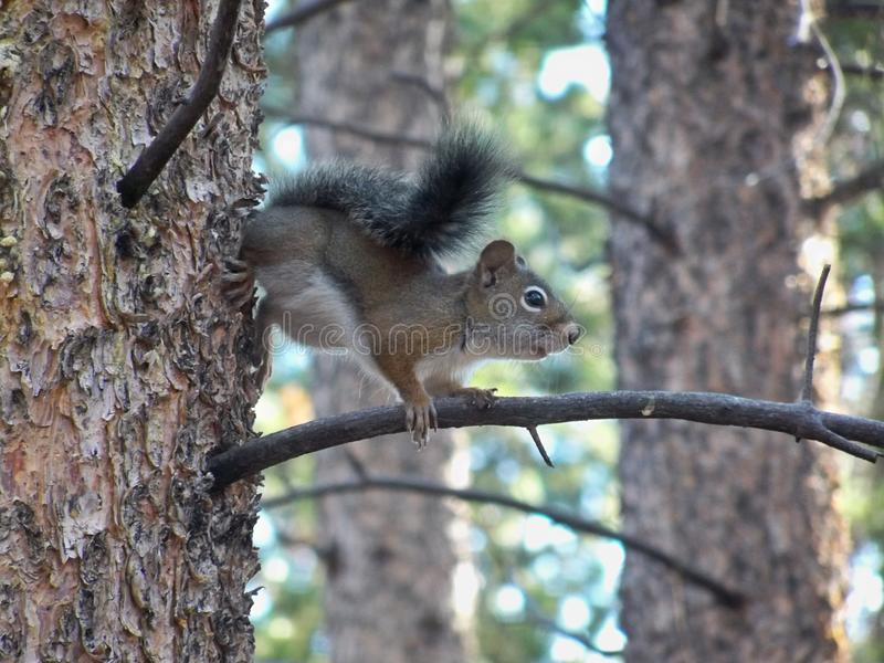 Colorado squirrel on a tree branch. Squirrel on a tree branch coming to see what I was royalty free stock photography