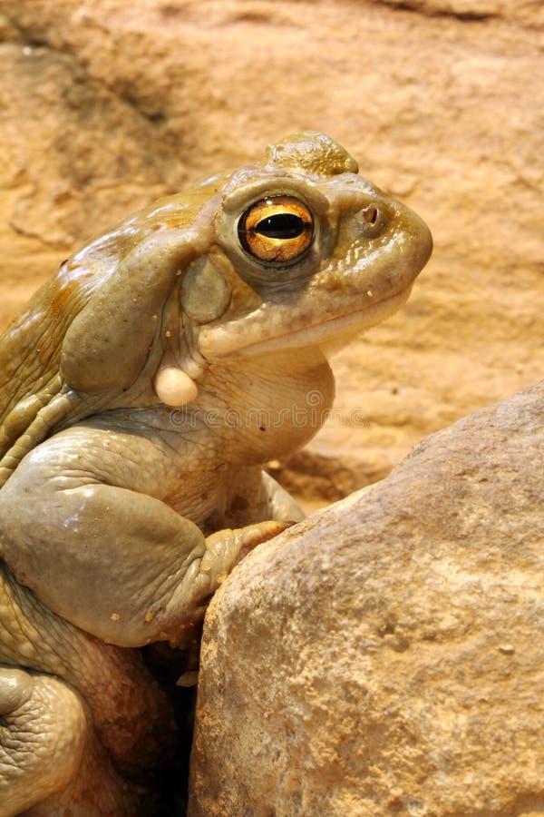Colorado Toad. Close-up of a Colorado Toad - Bufo Alvarius royalty free stock images