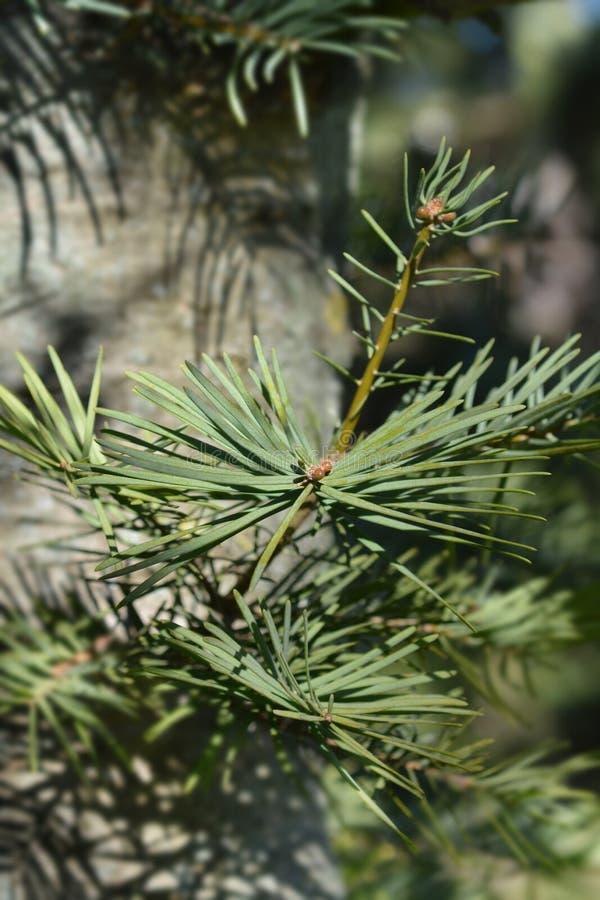 Colorado white fir arkivbilder
