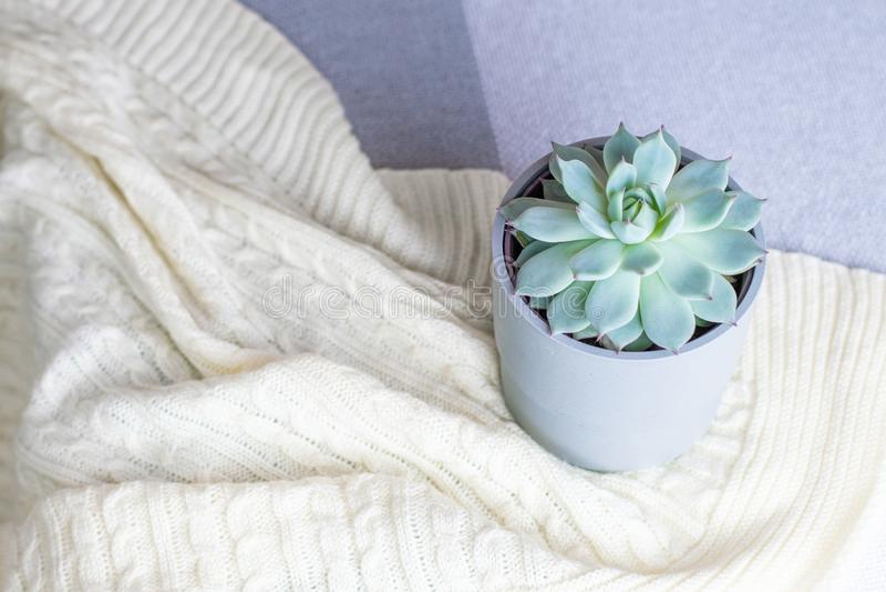 Colorata de Echeveria, flor suculento rara em um potenciômetro cinzento na cobertura feita malha ou manta, estilo mínimo, dentro, fotos de stock