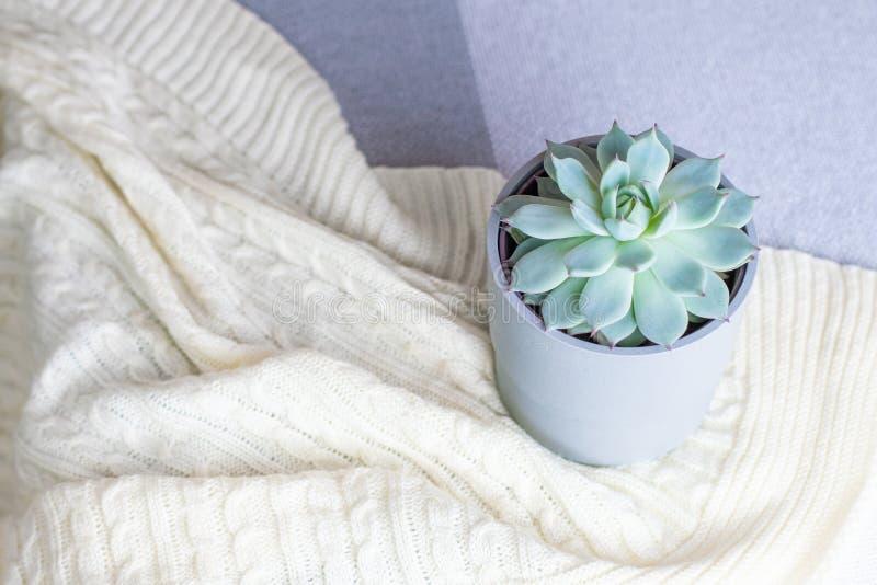 Colorata di Echeveria, fiore succulente raro in un vaso grigio sulla coperta tricottata o plaid, stile minimo, all'interno, casa  fotografie stock