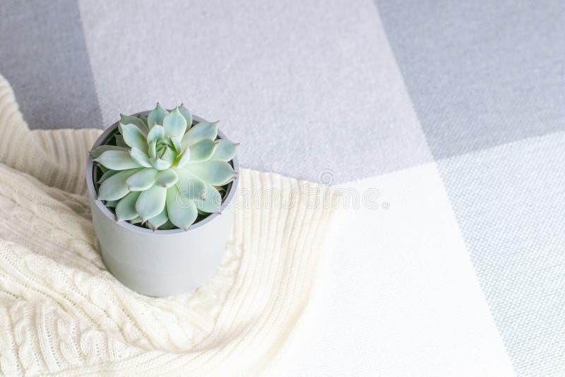 Colorata di Echeveria, fiore succulente raro in un vaso grigio sulla coperta tricottata o plaid, stile minimo, all'interno, inter immagini stock