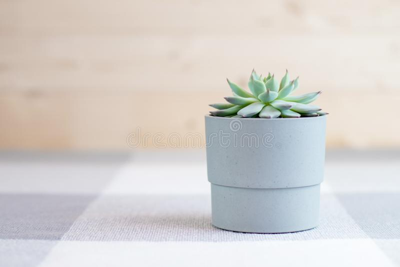 Colorata di Echeveria, pianta succulente rara in un vaso grigio con le linee geometriche ai precedenti, concetto di minimalismo fotografie stock