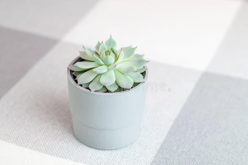 Colorata di Echeveria, pianta succulente rara in un vaso grigio con le linee geometriche ai precedenti, stile minimo, all'interno fotografia stock libera da diritti