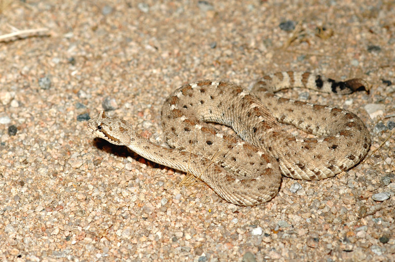 colordado沙漠响尾蛇 库存照片