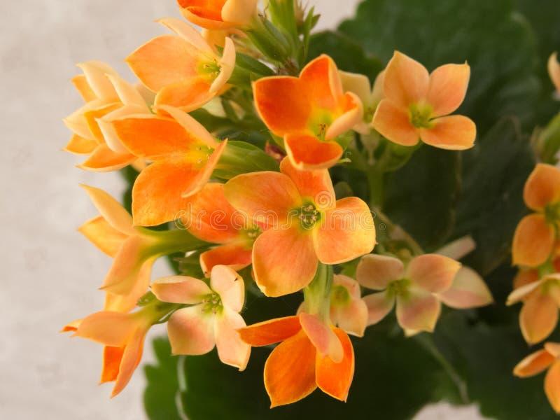 Colore arancio di fioritura di kalanchoe blossfeldiana delicato con le foglie verdi su fondo bianco immagini stock libere da diritti
