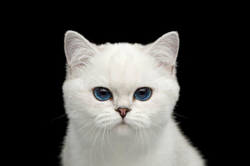Colore bianco del gatto britannico con gli occhi azzurri su fondo nero isolato immagine stock