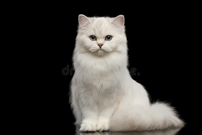 Colore bianco di Britannici del gatto simile a pelliccia della razza su fondo nero isolato fotografia stock libera da diritti