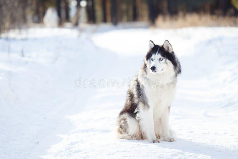 Colore in bianco e nero del cane del husky siberiano nell'inverno fotografia stock