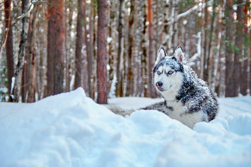 Colore in bianco e nero del cane meraviglioso del husky siberiano con gli occhi azzurri che si trovano nella neve nello spazio de fotografia stock libera da diritti
