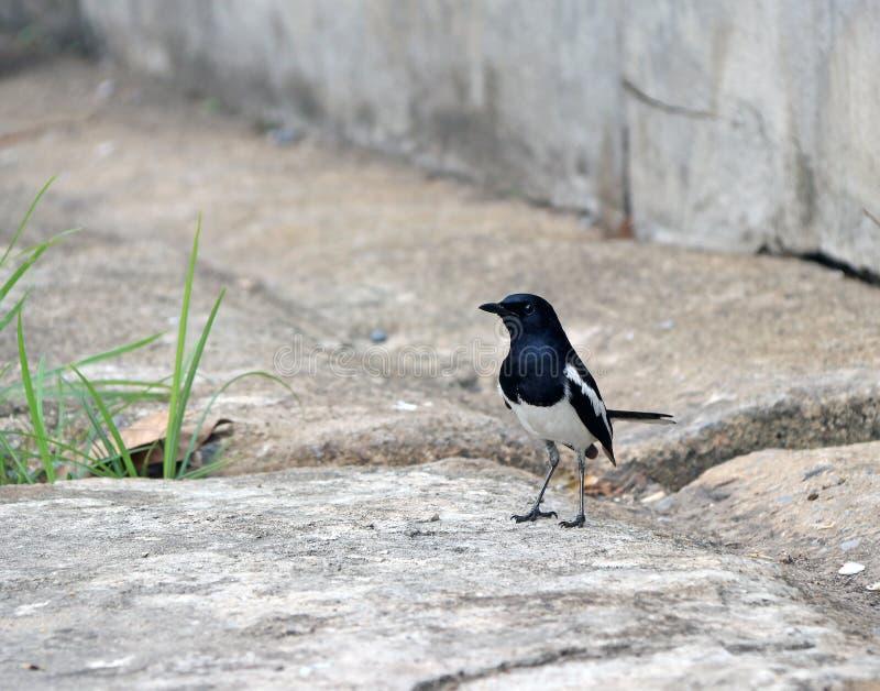 Colore in bianco e nero dell'uccello euroasiatico della gazza sul pavimento di calcestruzzo immagini stock