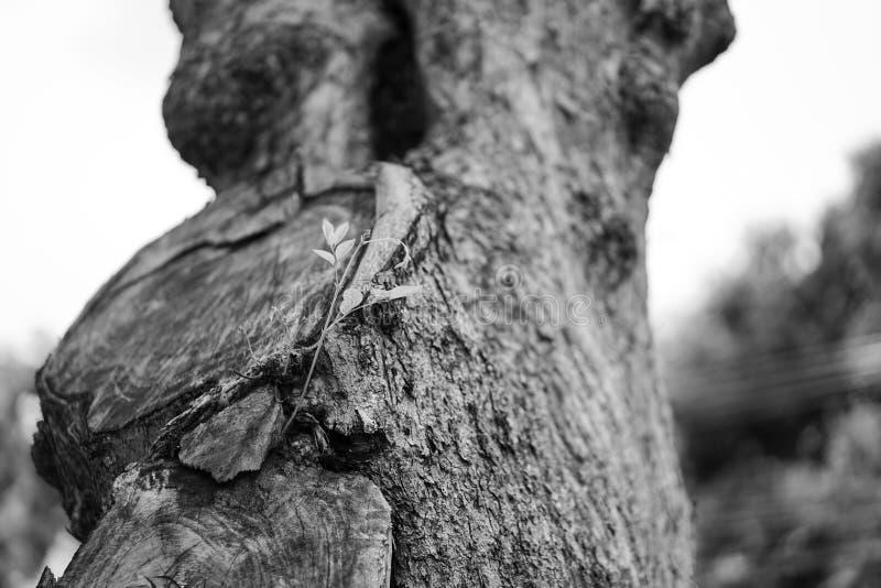 Colore in bianco e nero della foto; chiuda su poco verde sul grande albero fotografie stock libere da diritti