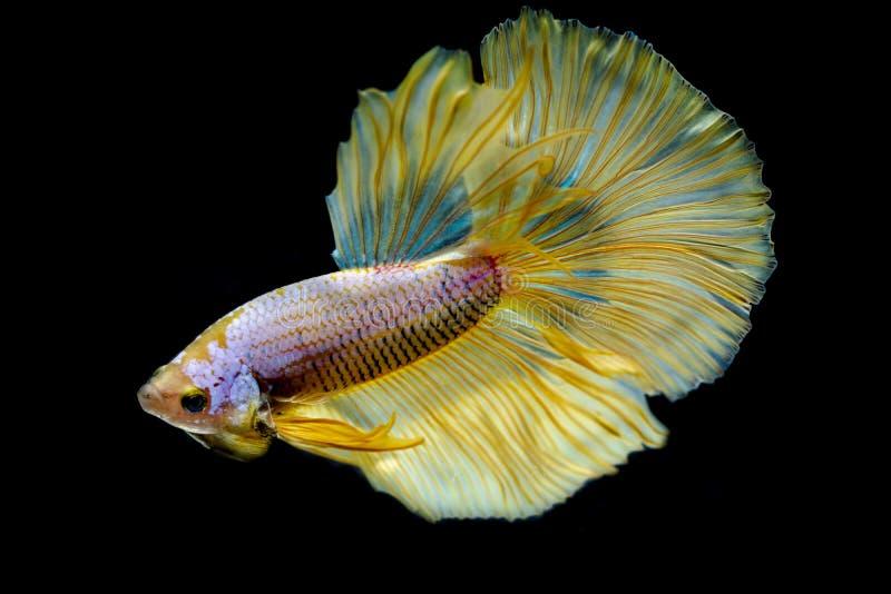 Colore combattente siamese del glod del pesce immagini stock