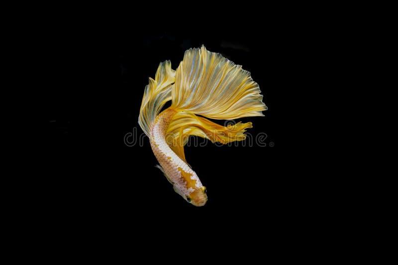 Colore combattente siamese del glod del pesce immagini stock libere da diritti